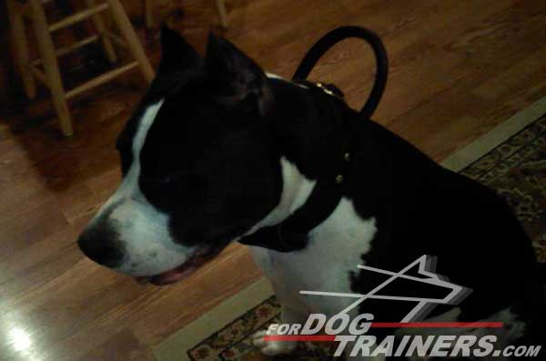 Training Amstaff Collar