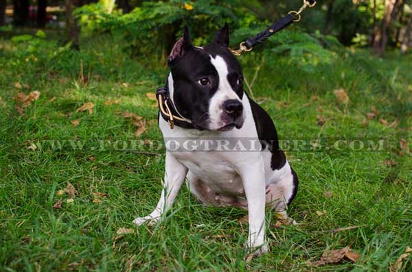 Amstaff Collar Stitched Leather Dog Training