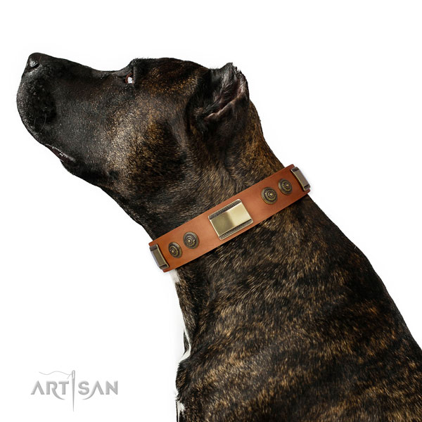Amstaff comfy wearing dog collar of designer natural leather