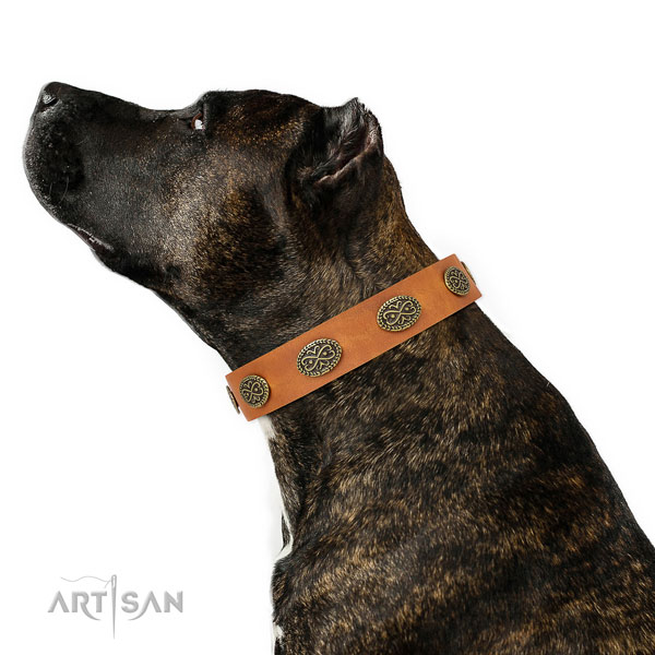 Amstaff everyday walking dog collar of trendy leather