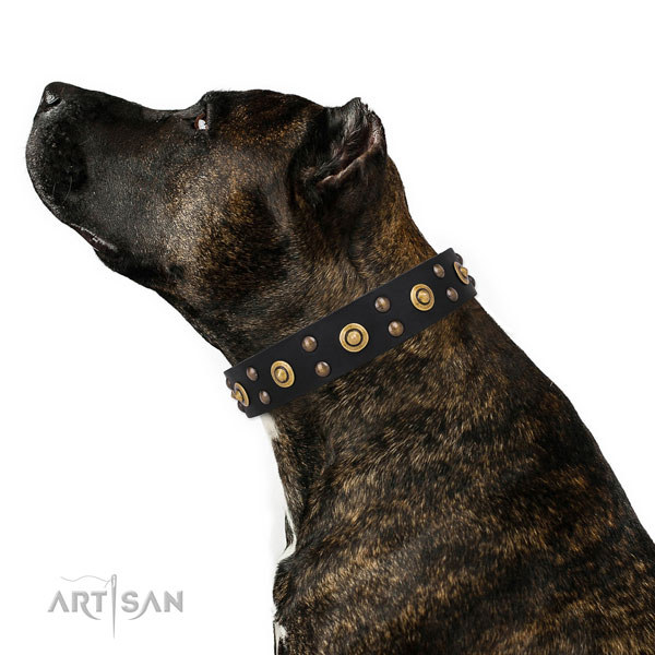 Amstaff comfy wearing dog collar of best quality leather