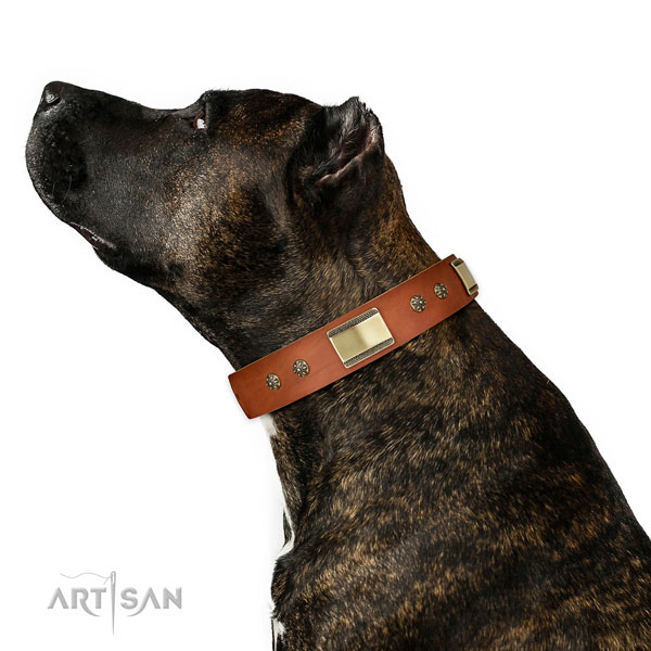 Amstaff basic training dog collar of remarkable quality genuine leather