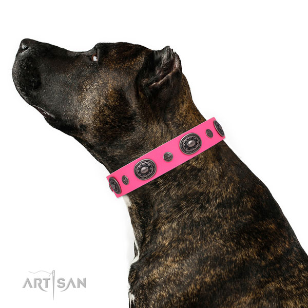 Amstaff fashionable leather dog collar with studs