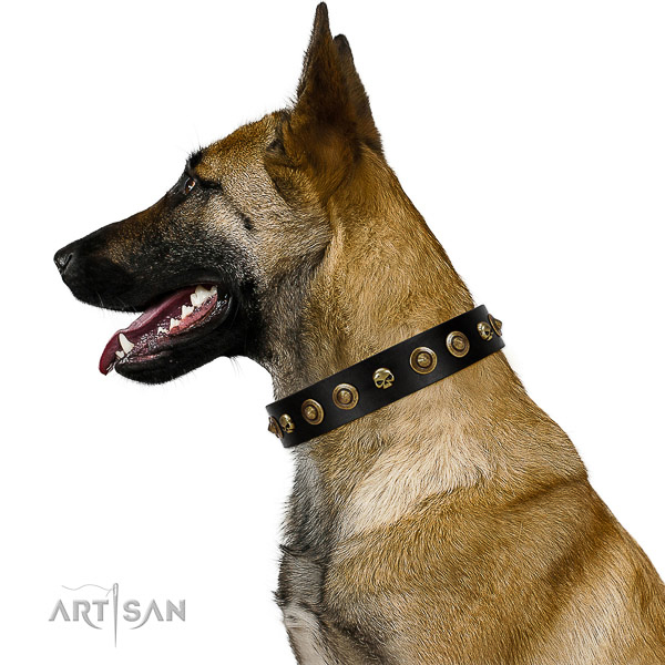 Wonderful Belgian Malinois Artisan leather collar for better control