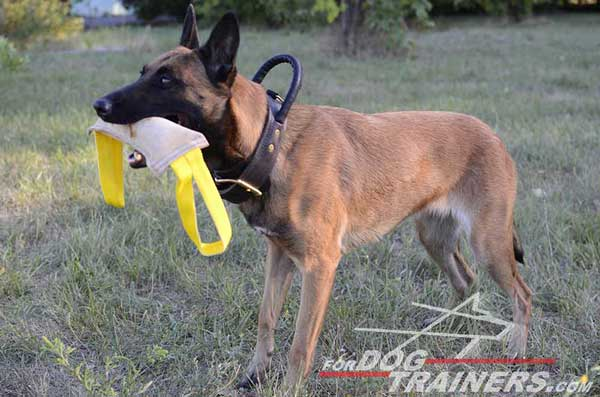 Leather Belgian Malinois Collar for attack training