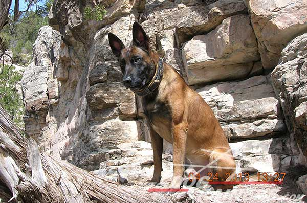 Leather Belgian Malinois Collar for basic training