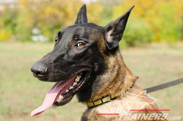 Designer Leather Belgian Malinois Collar with brass plates