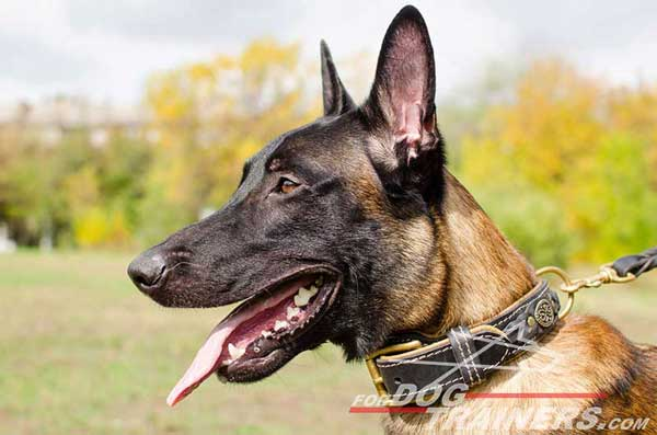 Nappa Padded Leather Belgian Malinois Collar