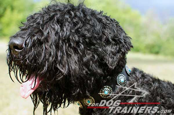 Walking Leather Black Russian Terrier Collar