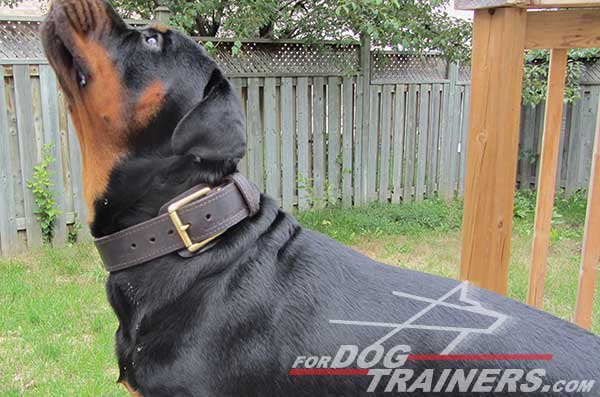 Rottweiler dog collar with traditional buckle
