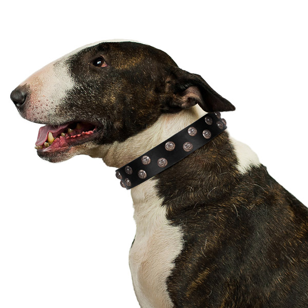 Comfortable walking leather Bull Terrier collar with studs