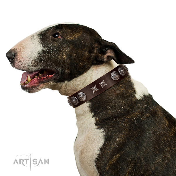 Extraordinary walking brown leather Bull Terrier collar