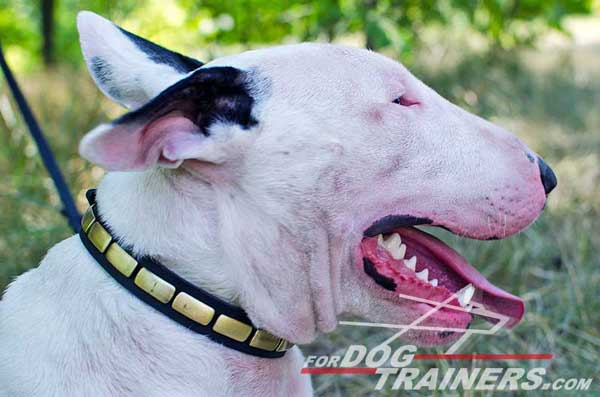 Plated Bull Terrier Collar Leather Decorated