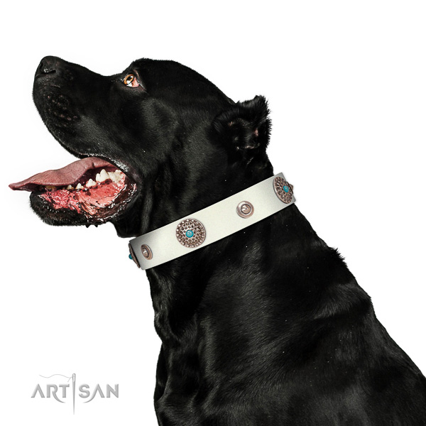 Extraordinary walking white leather Cane Corso collar with luxurious decorations