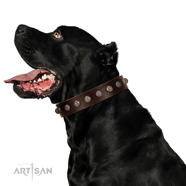 Extraordinary walking brown leather Cane Corso collar with modern decorations
