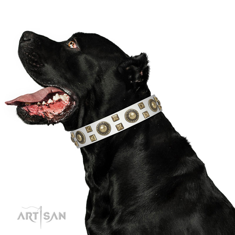Extraordinary walking leather Cane Corso collar with chic decorations