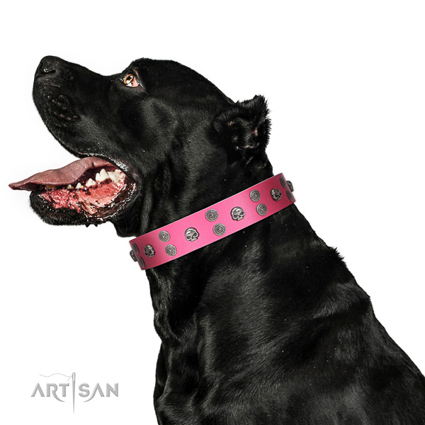 Extraordinary walking pink leather Cane Corso collar with