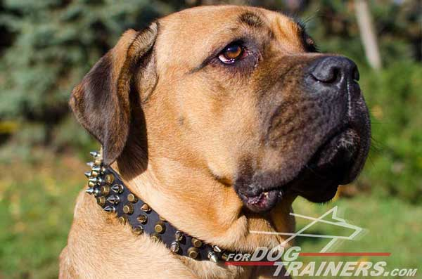 Leather Cane Corso Collar with brass pyramids