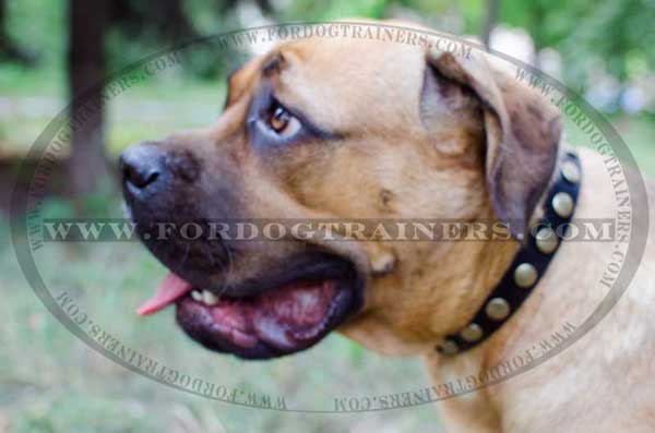 Leather Cane Corso Collar with circles