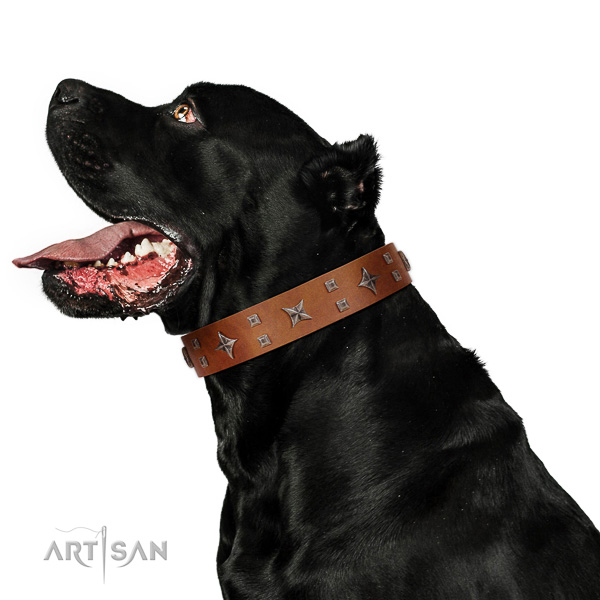 Adorned with stars leather Cane Corso collar with strong hardware