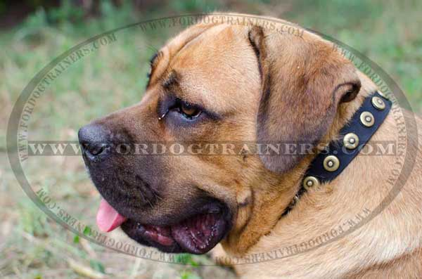 Genuine Leather Dog Collar with Shiny Circles for Cane Corso Breed