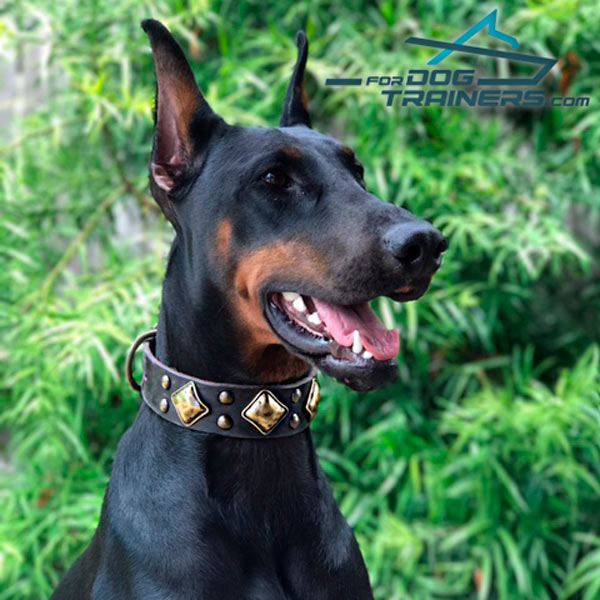 Trendy Decorated Doberman Collar a Perfect Match for Danke