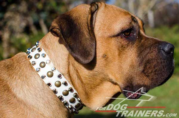 Professionally Decorated White Leather Dog collar for Cane Corso Walking