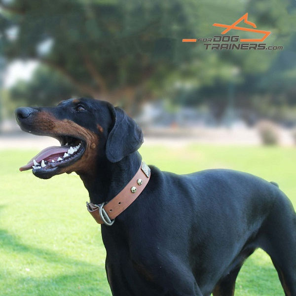 Awesome Leather Doberman Collar for Stylish Raven Walking