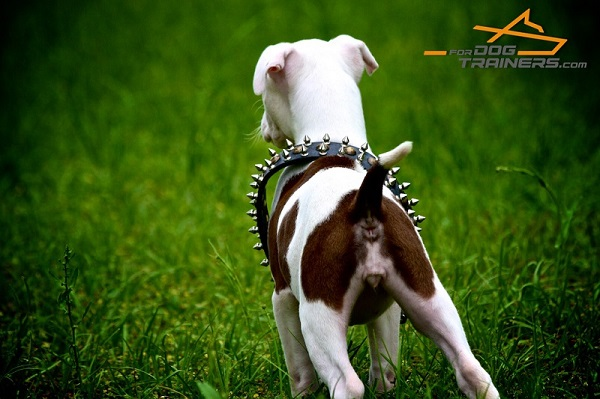Soft Leather Pitbull Collar for Stylish Walking