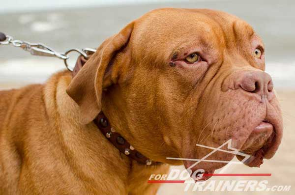 Training Leather Dogue de Bordeaux Collar