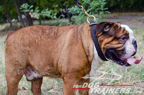 Choke English Bulldog Collar Everyday Walking