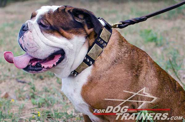 Walking Leather English Bulldog Collar