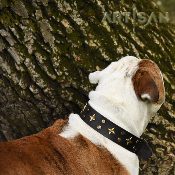 Best Quality Leather English Bulldog Collar for Dash Great Look