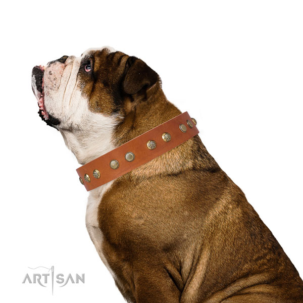 English Bulldog daily use dog collar of significant quality genuine leather