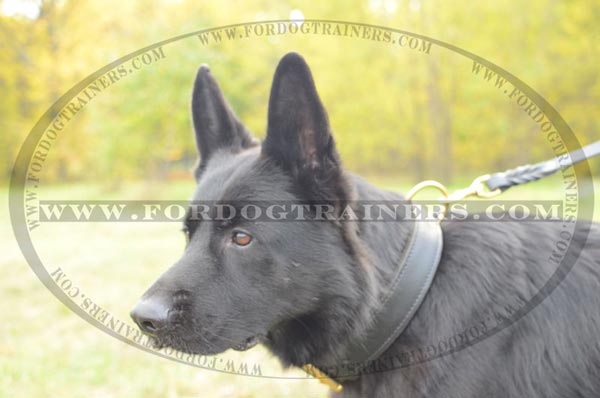 German Shepherd wearing Dog Collar