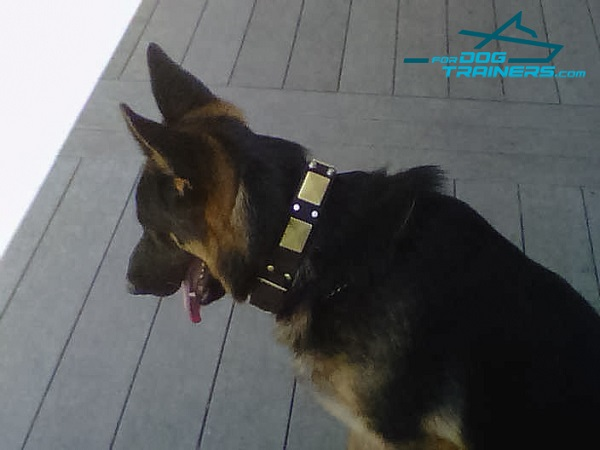 Kino Wearing Leather German Shepherd Collar with Plates and Cones