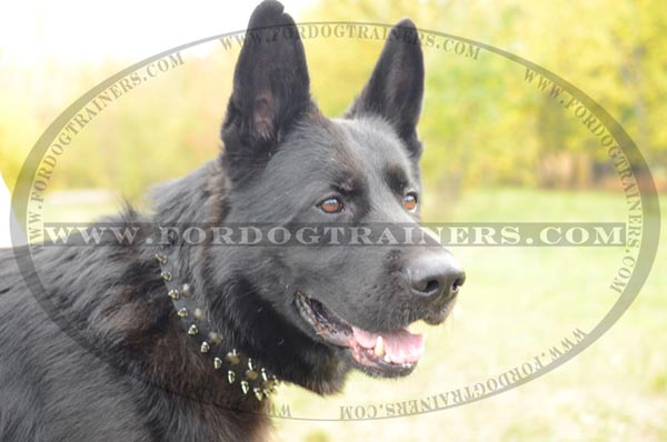 German Shepherd wearing Beautiful Leather Dog Collar