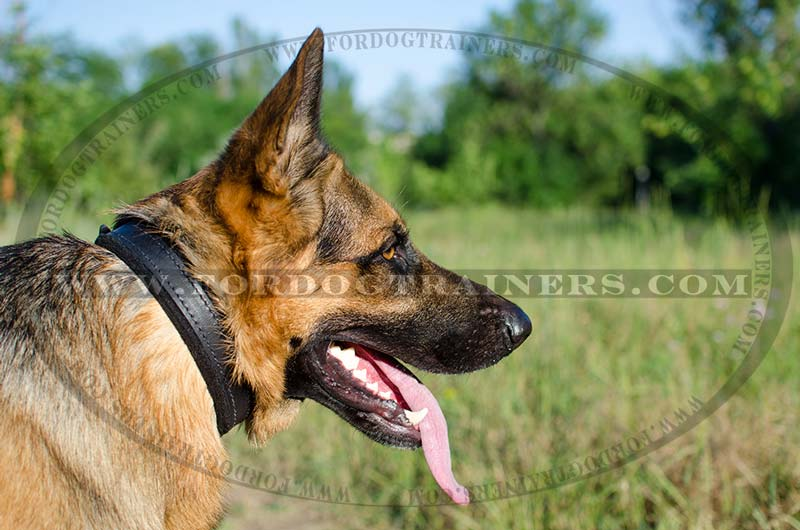 german shepherd protection training padded leather dog collar c24 1 inch 2 5cm width