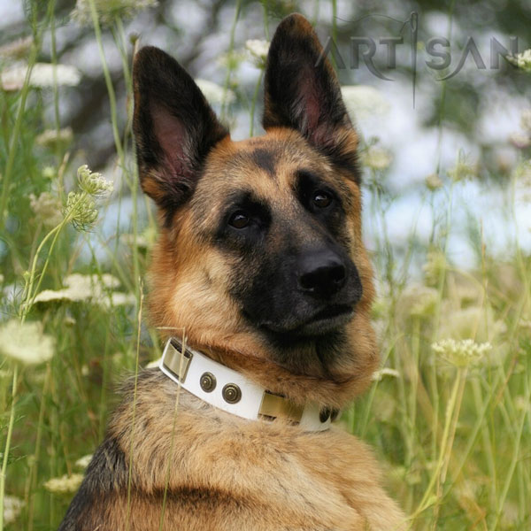 Brynn German Shepherd Wearing Stylish Walking White Leather Collar