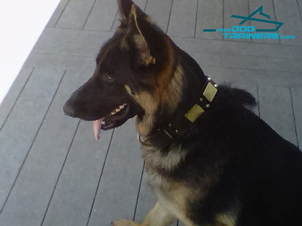 Walking Leather Dog Collar for Kino German Shepherd