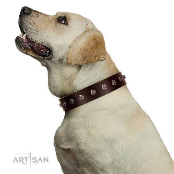 Extraordinary walking brown leather Labrador collar with