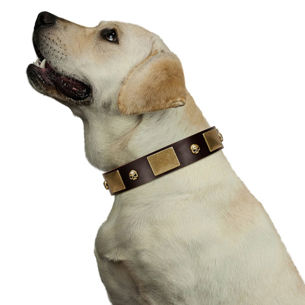 Brown Labrador Collar with Marvelous Decorations