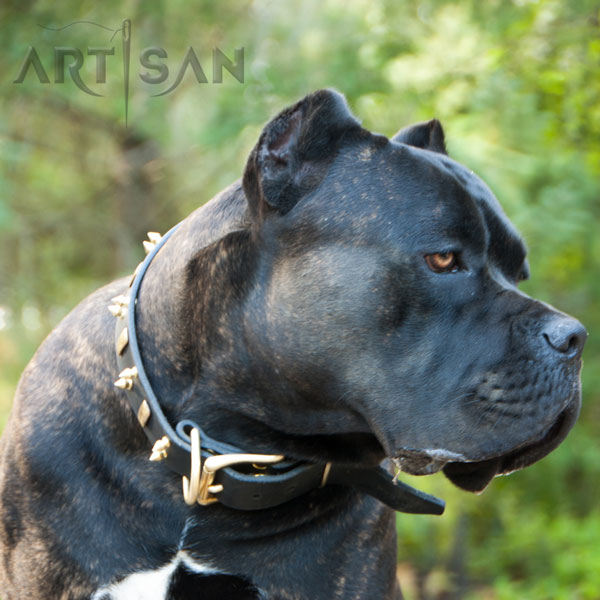 Strong Leather Cane Corso Collar with Carefully Riveted Fittings