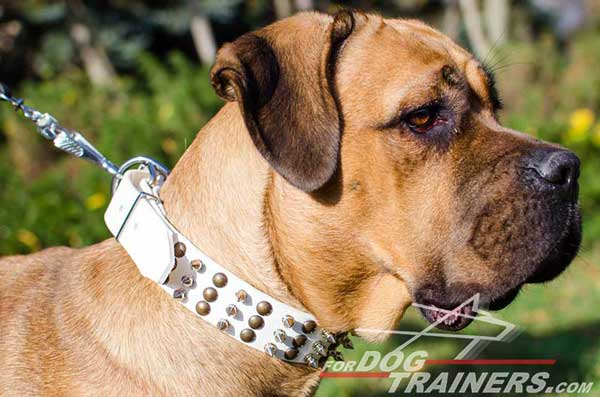 White Leather Dog Collar with Hemispheres and Spikes for Cane Corso