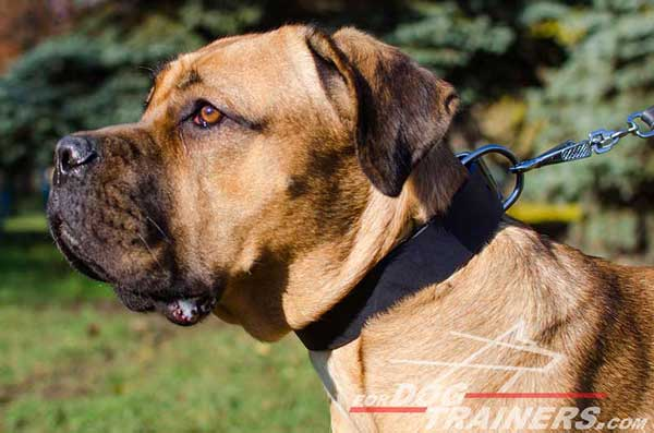 Wide Hand-Made Leather Cane Corso Collar for Walking