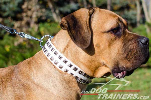 Cane Corso Collar Studded White Leather