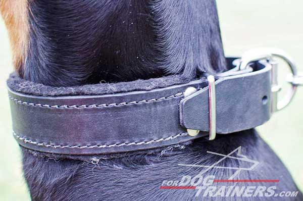 Soft padded leather Doberman collar with nickel fittings