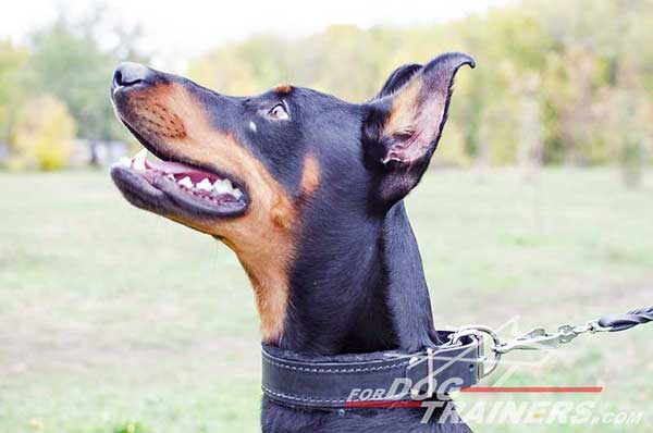 Functional leather Doberman collar with soft padding