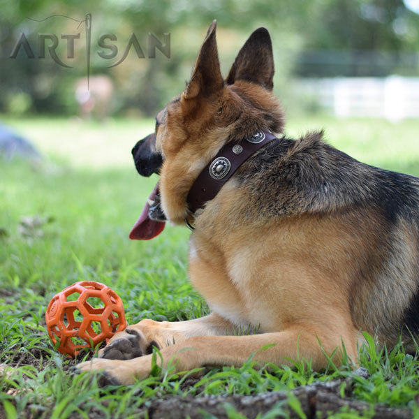 Modish Cooper in leather German Shepherd collar for daily activities