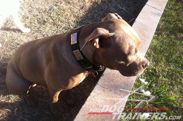 Extra wide decorated leather collar for Pitbull